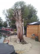 Leyland Cypress tree stump, Greenham lock Marina